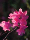Blooming Pink Flowers on Bush