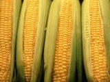 Corn Cobs on Husks