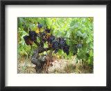 Ripe Grapes in the Vineyard  Domaine Pech-Redon  Coteaux Du Languedoc La Clape