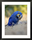 Hyacinth Macaw  Parrot Eating Brazil Nuts  Brazil