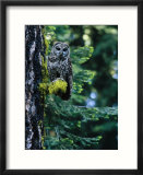 Spotted Owl Perched on a Mossy Tree Branch