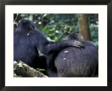 Male Chimpanzee Seeks Another for Support  Gombe National Park  Tanzania