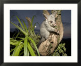 Brushtail Opossum at Dusk  New Zealand