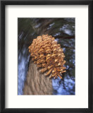 Close-up of Pine Cone Falling from a Ponderosa Pine Tree  Sierra Nevada Mountains  California  USA