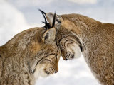 Two Lynx