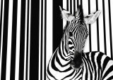 Zebra I