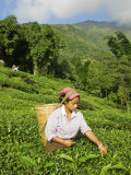 Woman Tea Picking  Goomtee Tea Estate  Kurseong  West Bengal  India