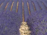 Alpes-De-Haute-Provence  Valensole  Lavendar Fields  Provence-Alpes-Cote D'Azur  France