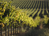 Vineyard  Napa  Napa Valley  California  USA