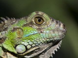 Green Iguana  San Iguacio  Belize