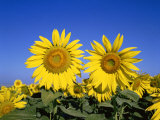 Sunflowers  Provence  France