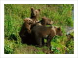Alaska Kodiak Bear Cubs