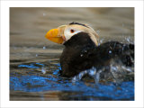 Horned Puffin  Alaska