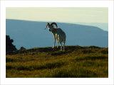 Dahl Sheep  Alaska