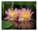 Double Water Lilies