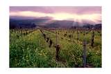 Napa Valley Sunset  Oakville  California