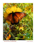 Sonoran Butterfly  Tucson  Arizona