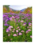 Autumn Wildflowers  White Mountains  New Hampshire