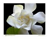 Gardenia 3