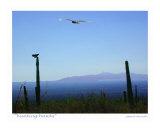 Hunting Hawks  Tucson  Arizona