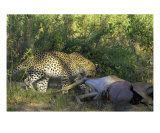 Leopard With Carcass