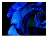 Blue Rose On Black Background