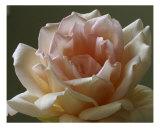 Rose 112