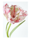 Single Parrott Tulip