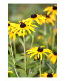 Chorus Of Black-Eyed Susans