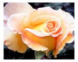 Last Rose In Winter