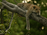 Young Leopard  Panthera Pardus  Rests on a Tree Limb  Mombo  Okavango Delta  Botswana