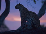 Leopard in a Tree Top Perch at Dusk  Mombo  Okavango Delta  Botswana