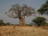 African Baobab Tree in the Tarangire National Park  Tanzania  Africa