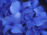 Close View of Blue Hydrangea Flowers, Cape Cod, Massachusetts Papier Photo par Darlyne A. Murawski