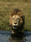 Male African Lion  Panthera Leo  Standing in Water Near the Shore  Okavango Delta  Botswana