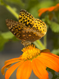 Skipper Butterfly Sipping Nectar from an Orange Flower  USA