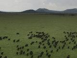 Wildebeest Migration across the Savannah  Africa
