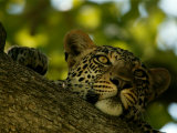 Close-Up of a Leopard Lying on a Tree Branch  Mombo  Okavango Delta  Botswana