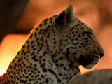 Close-Up of a Leopard  Mombo  Okavango Delta  Botswana