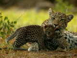 Leopard Licks a Young Cub  Mombo  Okavango Delta  Botswana