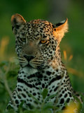 Leopard  Panthera Pardus  Resting in the Grass  Mombo  Okavango Delta  Botswana