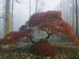 Japanese Maple Trees Exhibiting Fall Colors  New York