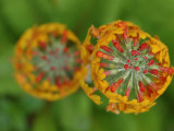Close-Up View of Flowering Stalks of Candelabra Primula Plants  Vancouver  British Columbia  Canada