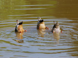 Dabbling Mallard Ducks  Anas Platyrhynchos  Bottoms Up  Arlington  Massachusetts  USA