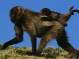 Female Gelada Gives Her Infant a Ride on Her Back  Simen Mountains National Park  Ethiopia