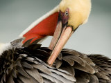 Close-Up of a Preening Brown Pelican  San Diego  California  USA