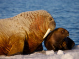 Atlantic Walrus Pup and Mother Resting on Ice Near Open Water  Foxe Basin  Nunavut  Canada