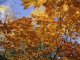 Brilliant Yellow Japanese Maples Exhibit Fall Colors  New York
