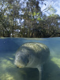 Florida Manatee Swimming in the Clear Homosassa Springs Water  Homosassa Springs  Florida