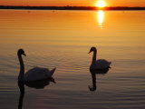 Two Mute Swans in the Narragansett Bay at Sunrise  Cranston  Rhode Island